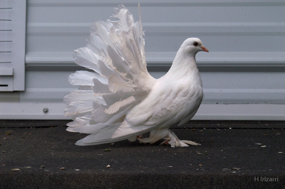 Fantail Pigeon by Henri Irizarri