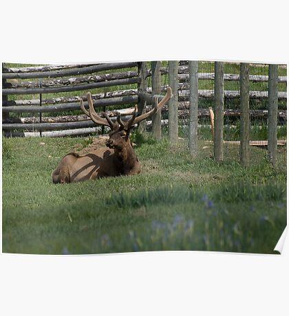Mr. Elk Poster