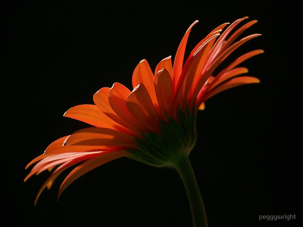 Daisy Glow by peggywright