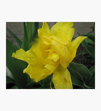 Yellow Daffodil Photographic Print