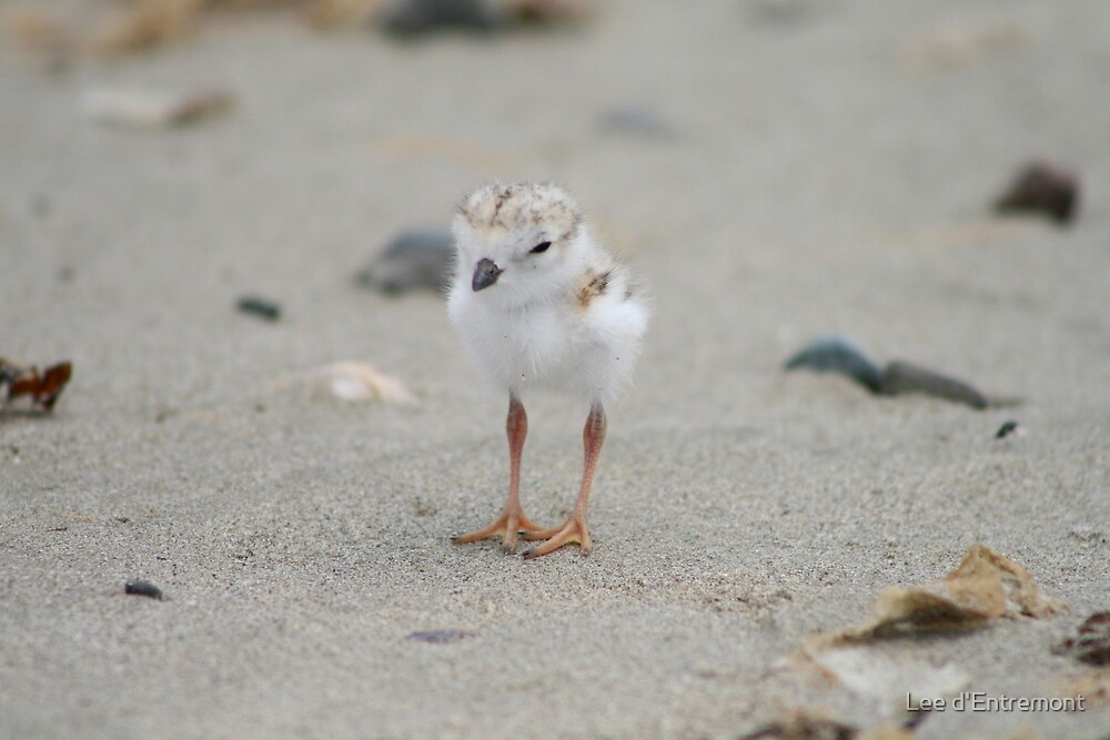 Piping Plover Hatch ling. by Lee d'Entremont
