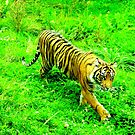Strolling Tiger Two by Barnbk02