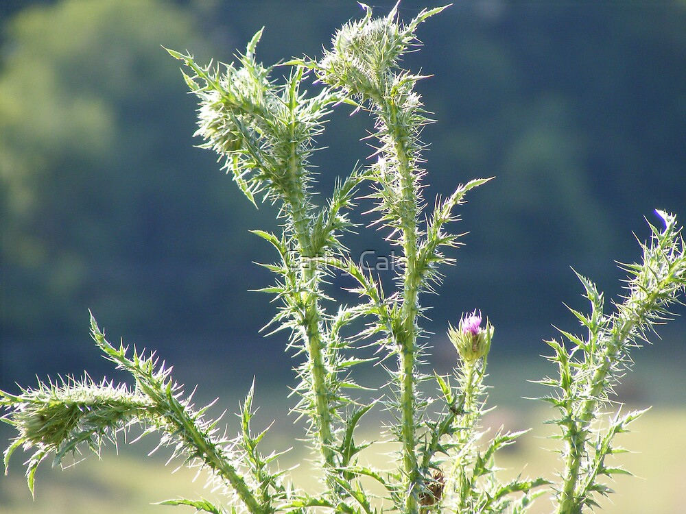 THISTLE!! by Cathy Cale