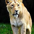 Staring Lioness Two by Barnbk02