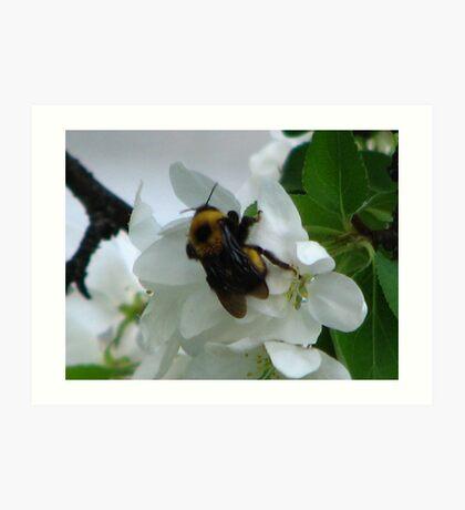AppleBlossoms and the BummbleBee Art Print