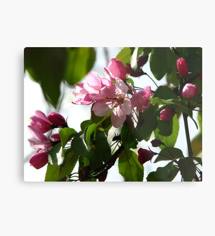 Pink AppleBlossoms Metal Print