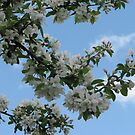 AppleBlossom Branches Against the Sky by gypsykatz