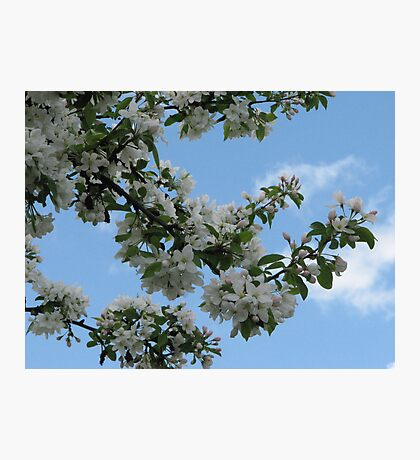 AppleBlossom Branches Against the Sky Photographic Print