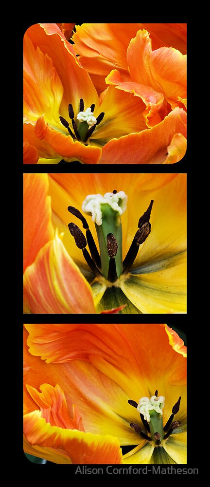 Orange Tulip Trio by Alison Cornford-Matheson