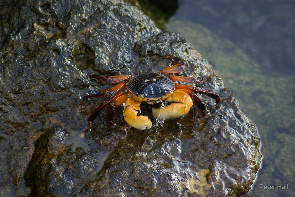 Rock Crab 2 by Peter Hall