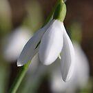 A Single Snowdrop by lynn carter