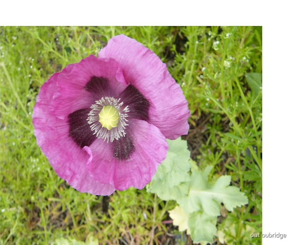 Oriental Poppy by pat oubridge