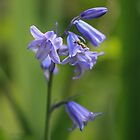 Bluebell by Sue Purveur