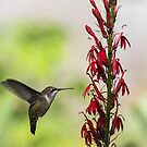 Ruby Throated Hummingbird 2017-1 by Thomas Young