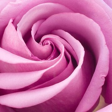 Pink Rose Folded To Perfection by SandraFoster