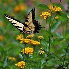 Swallowtail On Lantana by Cynthia48