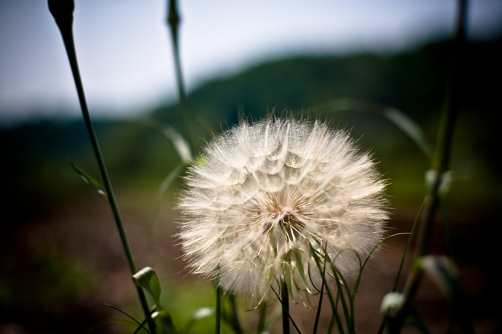 Dandelion  by Jason Tavares
