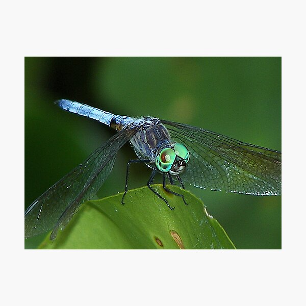 Dragon Fly part two Photographic Print