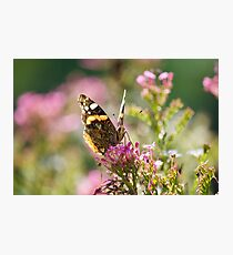 Painted Lady (Vanessa Cardui) butterfly Photographic Print