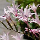 Species Gladioli. Australia. by johnrf