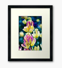 Pink and/or Purple and Yellow Tulips in the Spring Framed Print