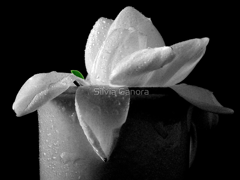 Gardenia in coffee cup by Silvia Ganora