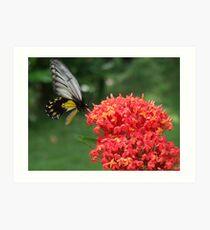 Butterfly @ Borneo Rainforest Lodge - Sabah Art Print