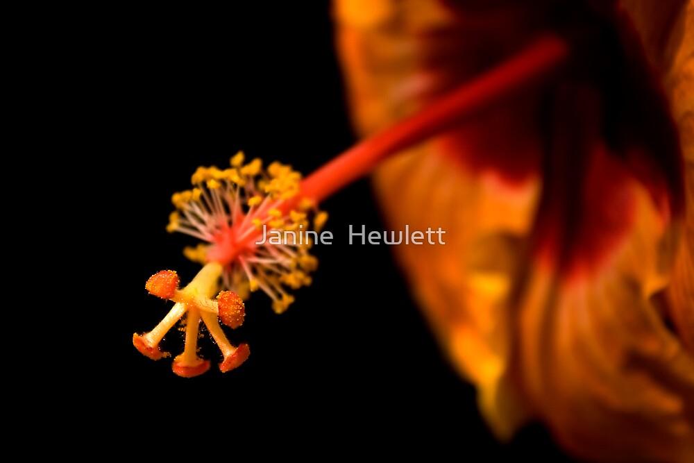 Hibiscus by Janine  Hewlett