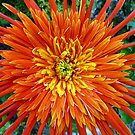 The humble Gerbera 2 by Magee