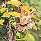 Gatekeeper Butterflies by John Thurgood