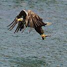 White-tailed sea eagle by Jon Lees