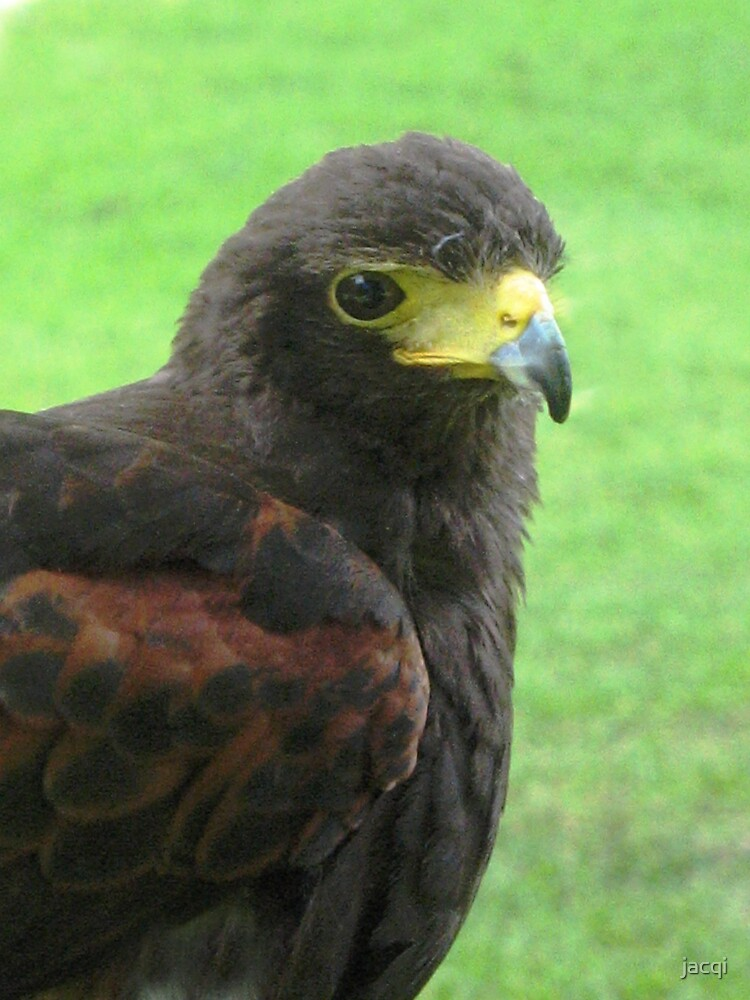Ebby the Harris Hawk by jacqi