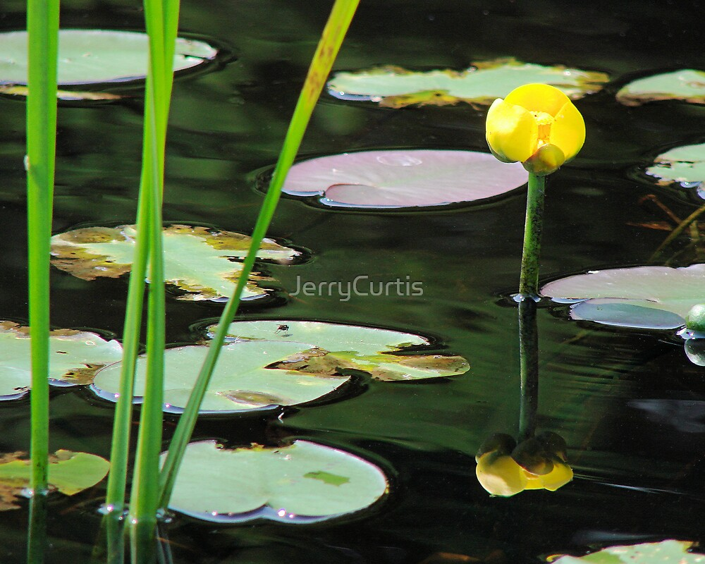 Water Lily by JerryCurtis