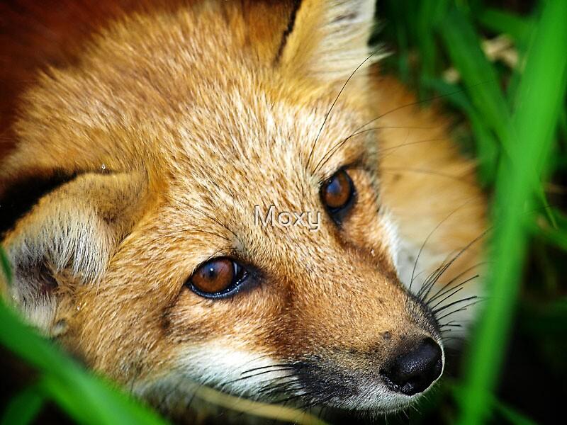 Young Fox closeup by Moxy