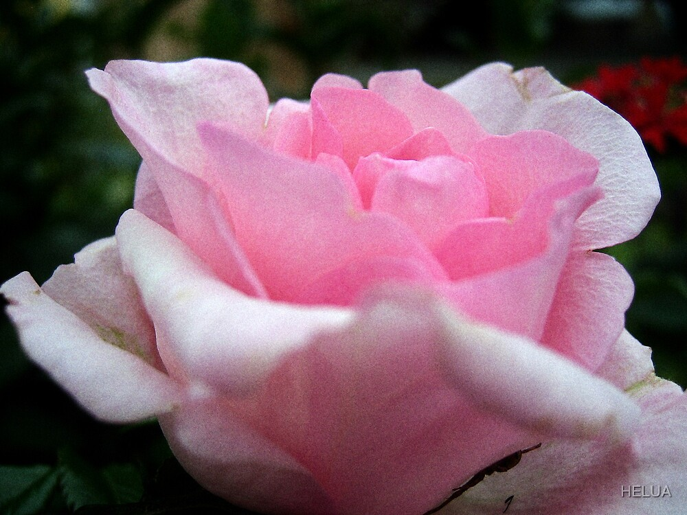 """""""Blushing Beauty"""" by HELUA"""