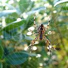 A Spider by dougie1