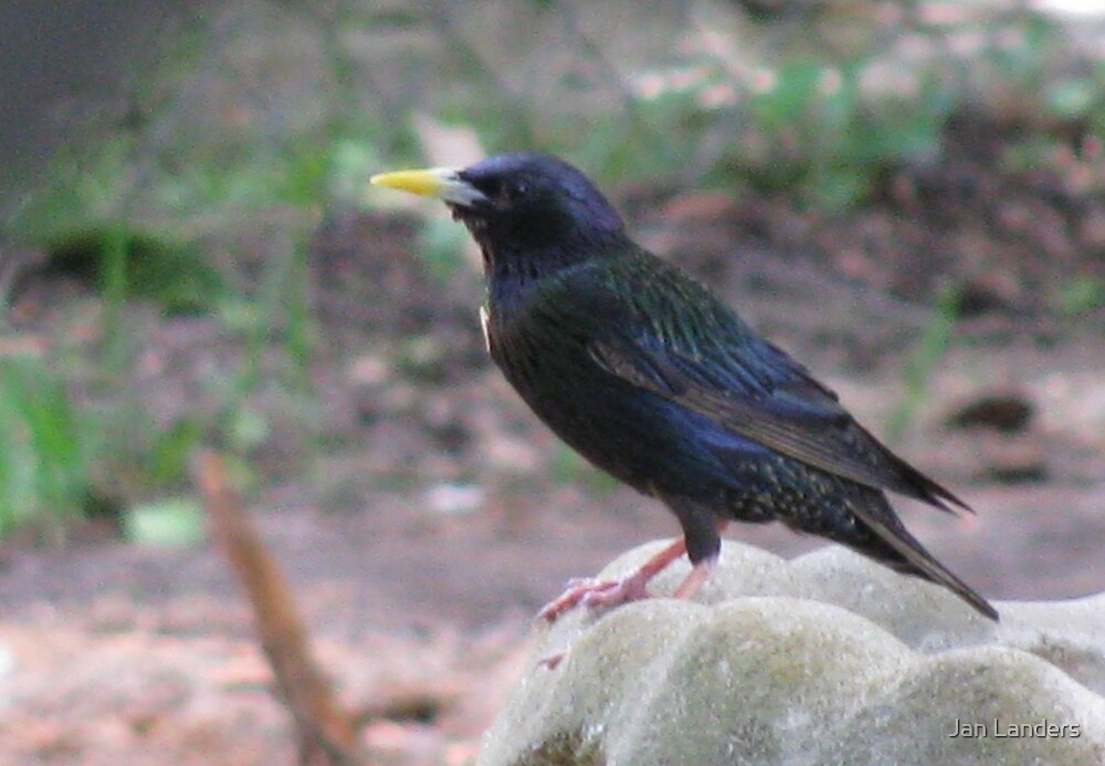 Starling Visitor by Jan Landers