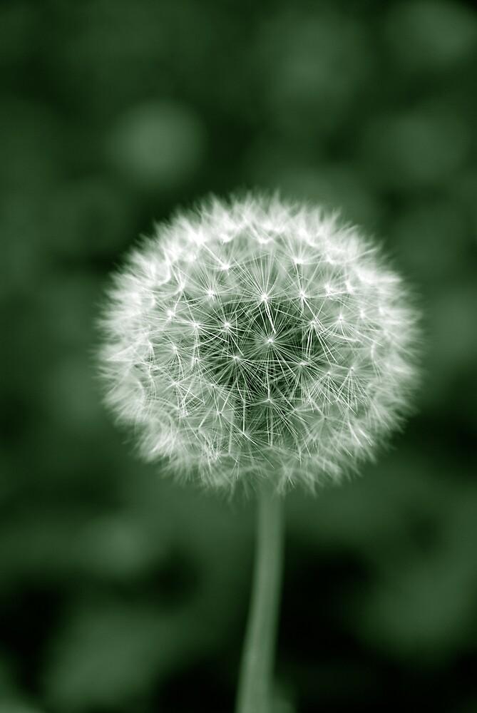 Dandelion by Jay Payne