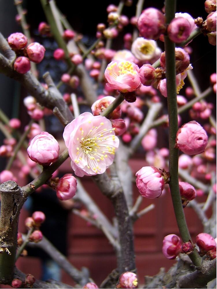 Cherry Blossom by Anarkhos