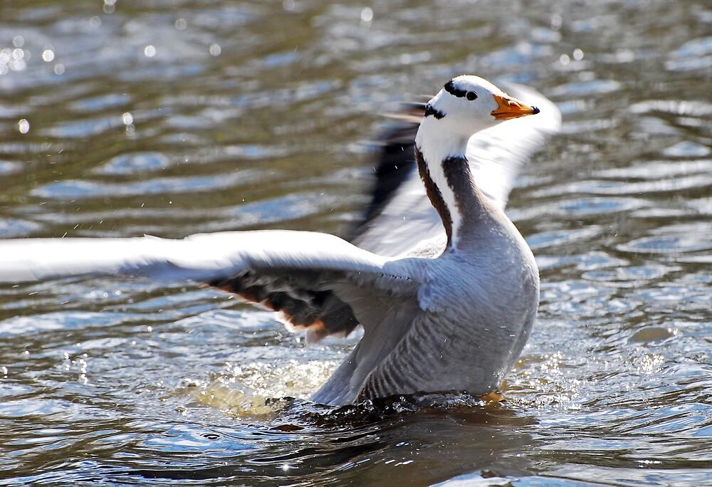 Barhead Goose by Jay Payne