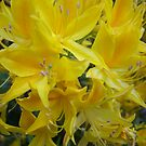 Yellows by Ann Macdonald
