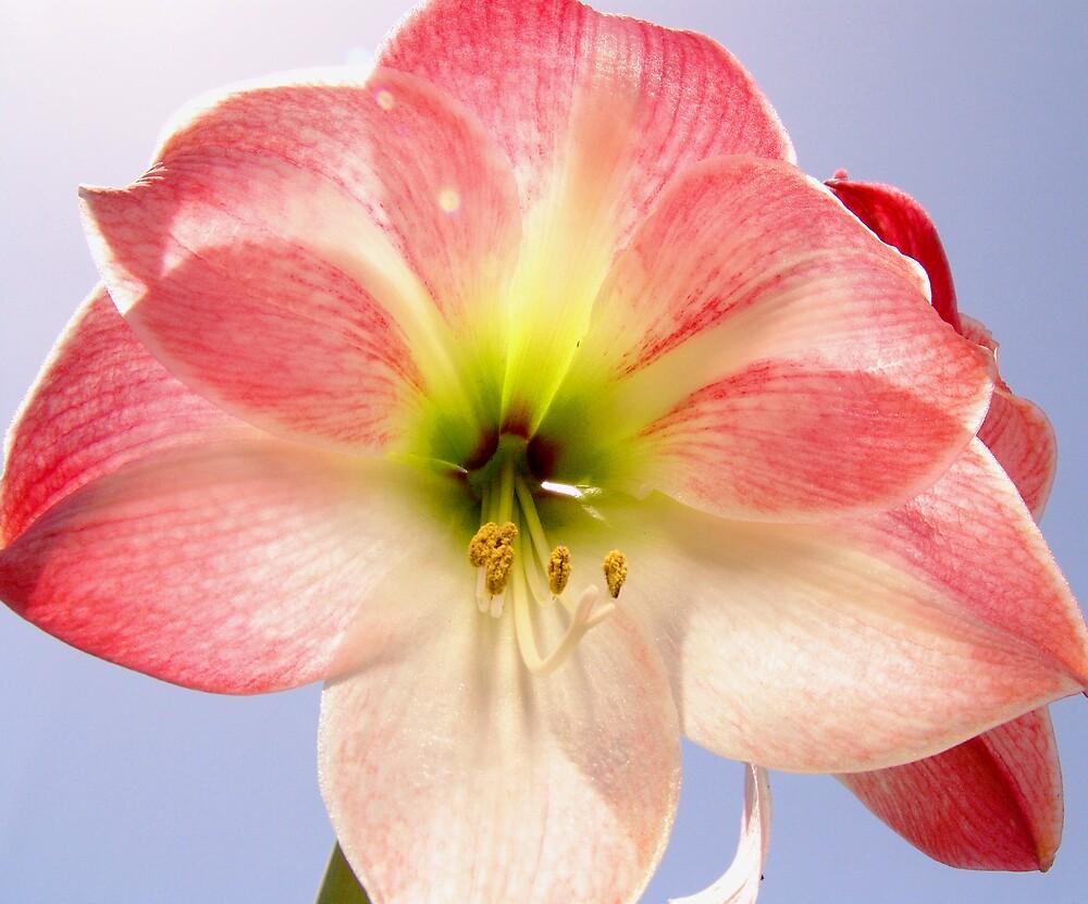 Apple Blossom Amaryllis by donRene