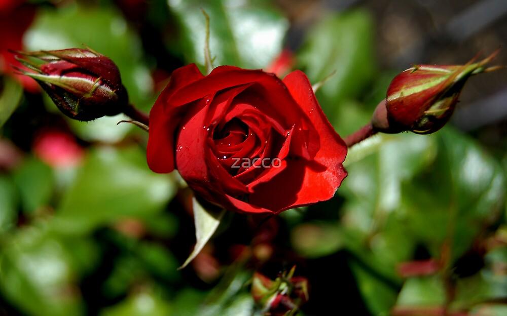Red rose for you by zacco