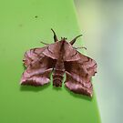 Walnut Sphinx Moth by Alice Kahn
