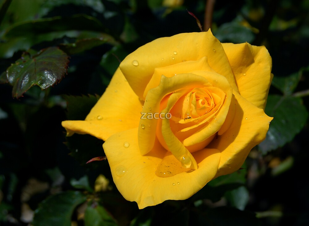 yellow rose by zacco