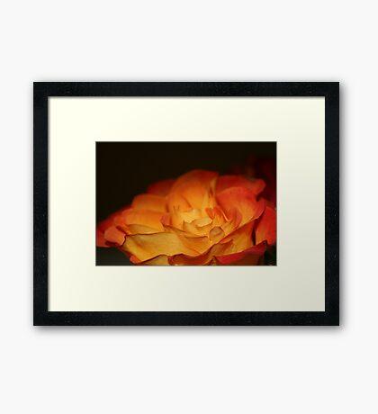 Orange Firery Rose Framed Print