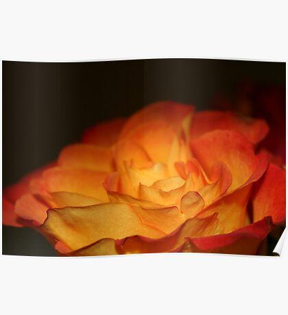 Orange Firery Rose Poster
