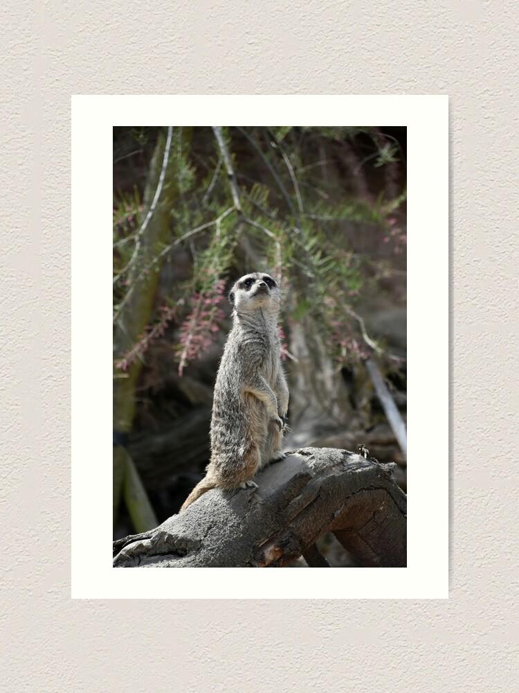 Alternate view of Meerkat on the lookout Art Print