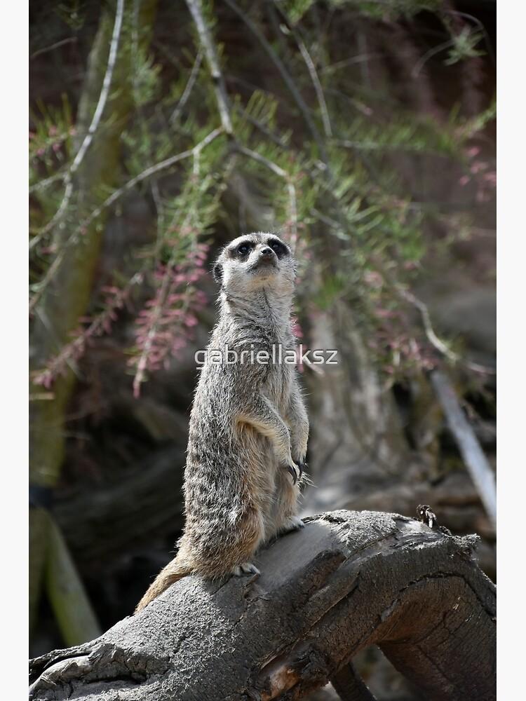 Meerkat on the lookout by gabriellaksz