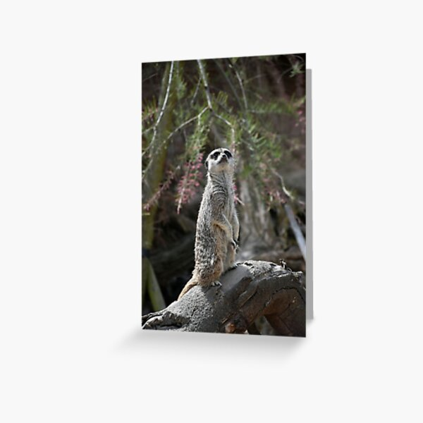 Meerkat on the lookout Greeting Card